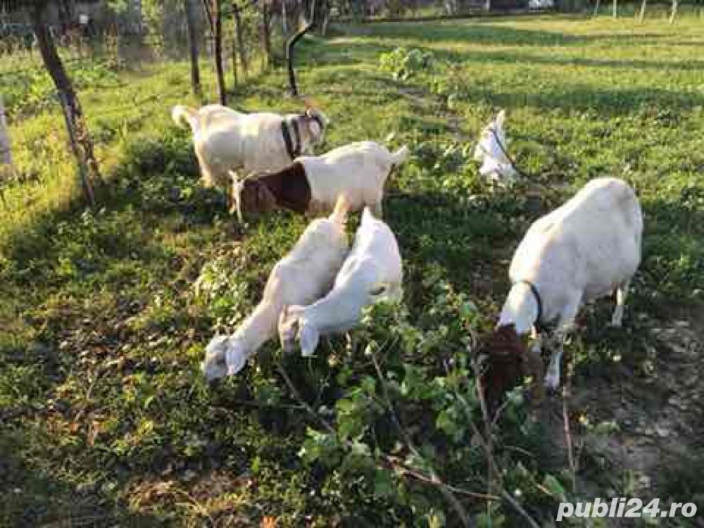 vand capre boer