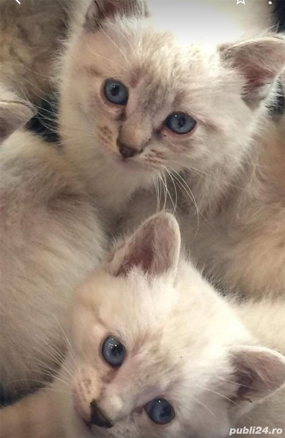 Pisici Pisicute
