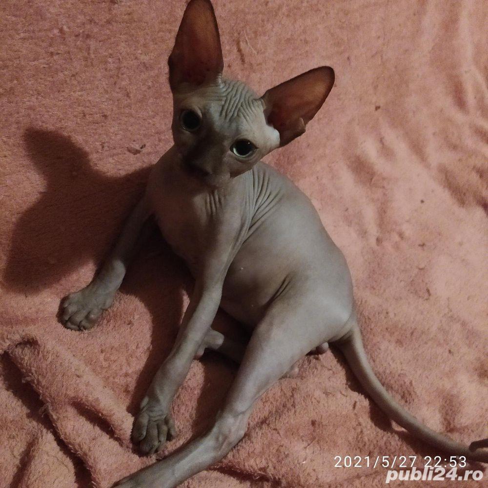 Pisică Sphynx cu pedigree