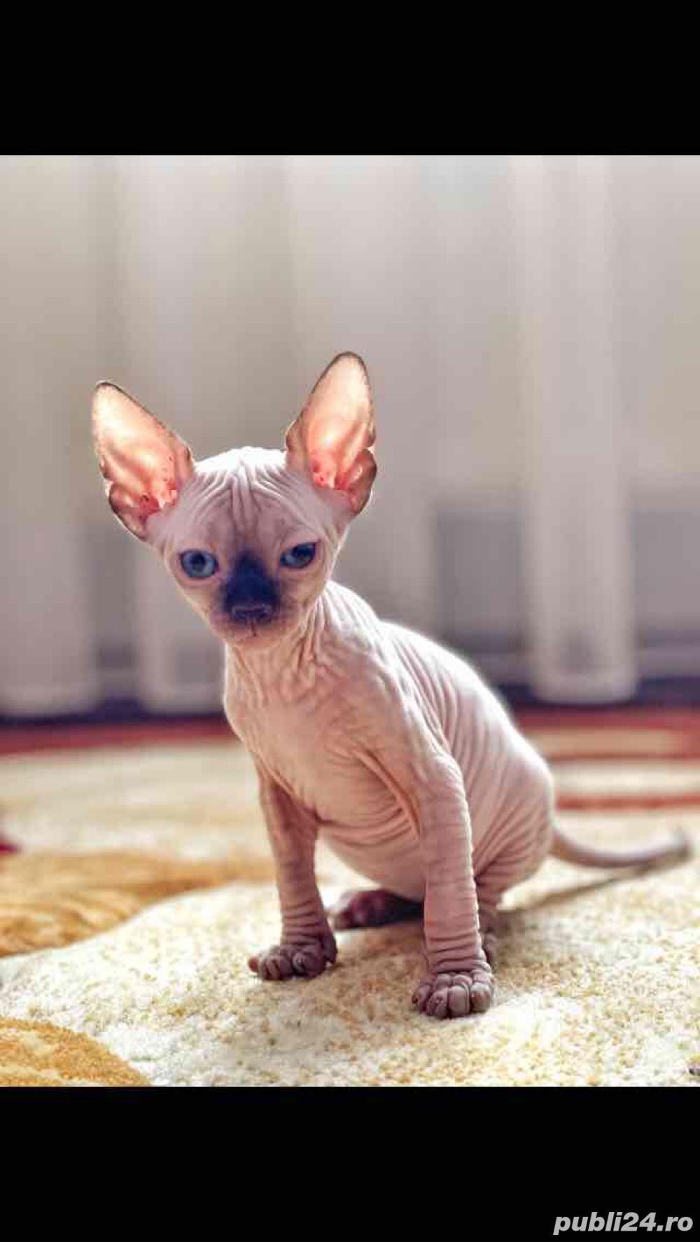 Pisici sfinx   sphynx  fara par, in scop terapeutic