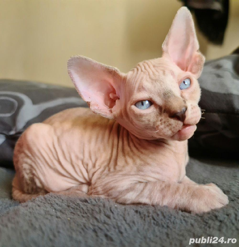pui Sphyx Canadian