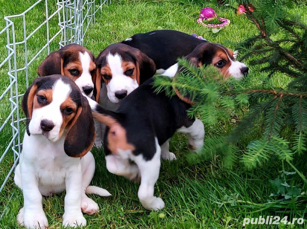 Beagle Pui Tricolori,cu/fara Pedigree,Canisă!!!