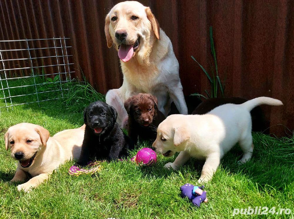 Labrador Retriever,toate culorile,cu/fara Pedigree,Canisa!!!