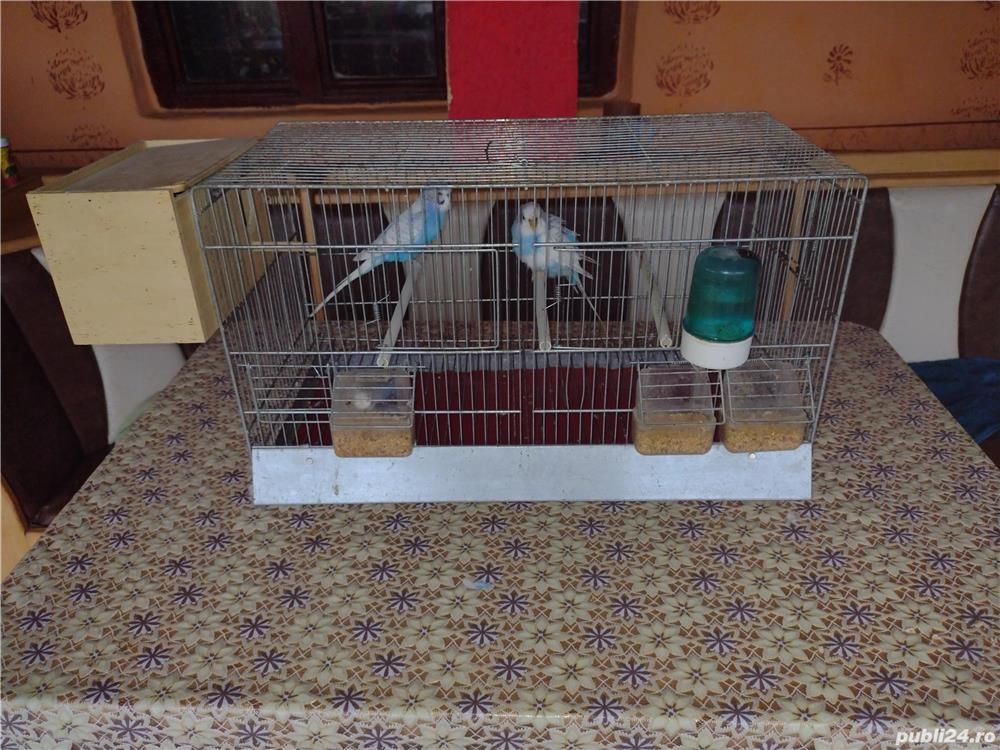 Vând papagali
