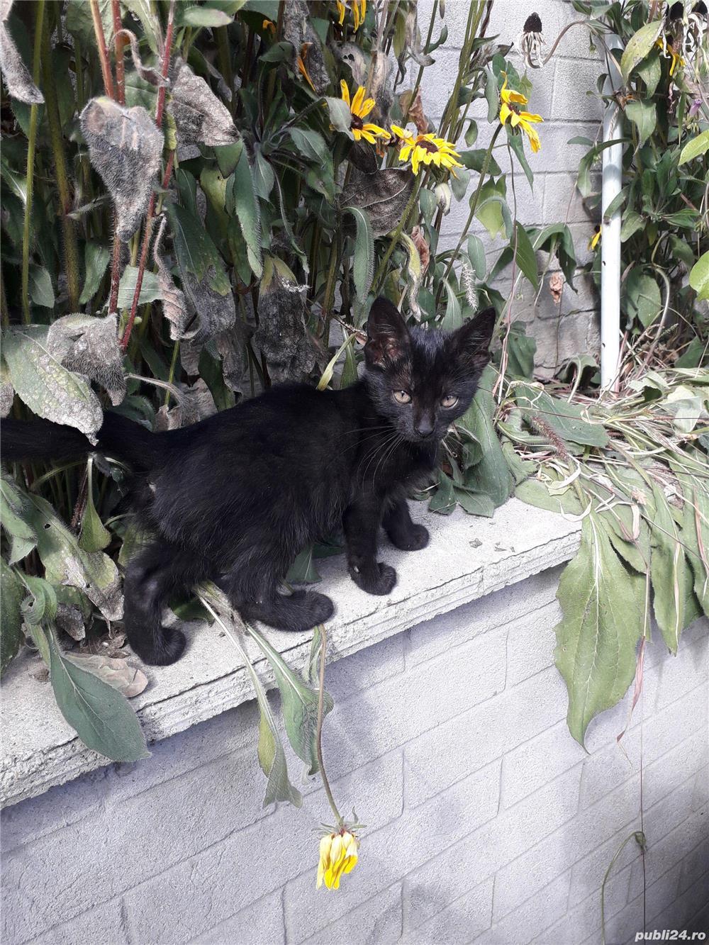 Adoptie-pui de pisica