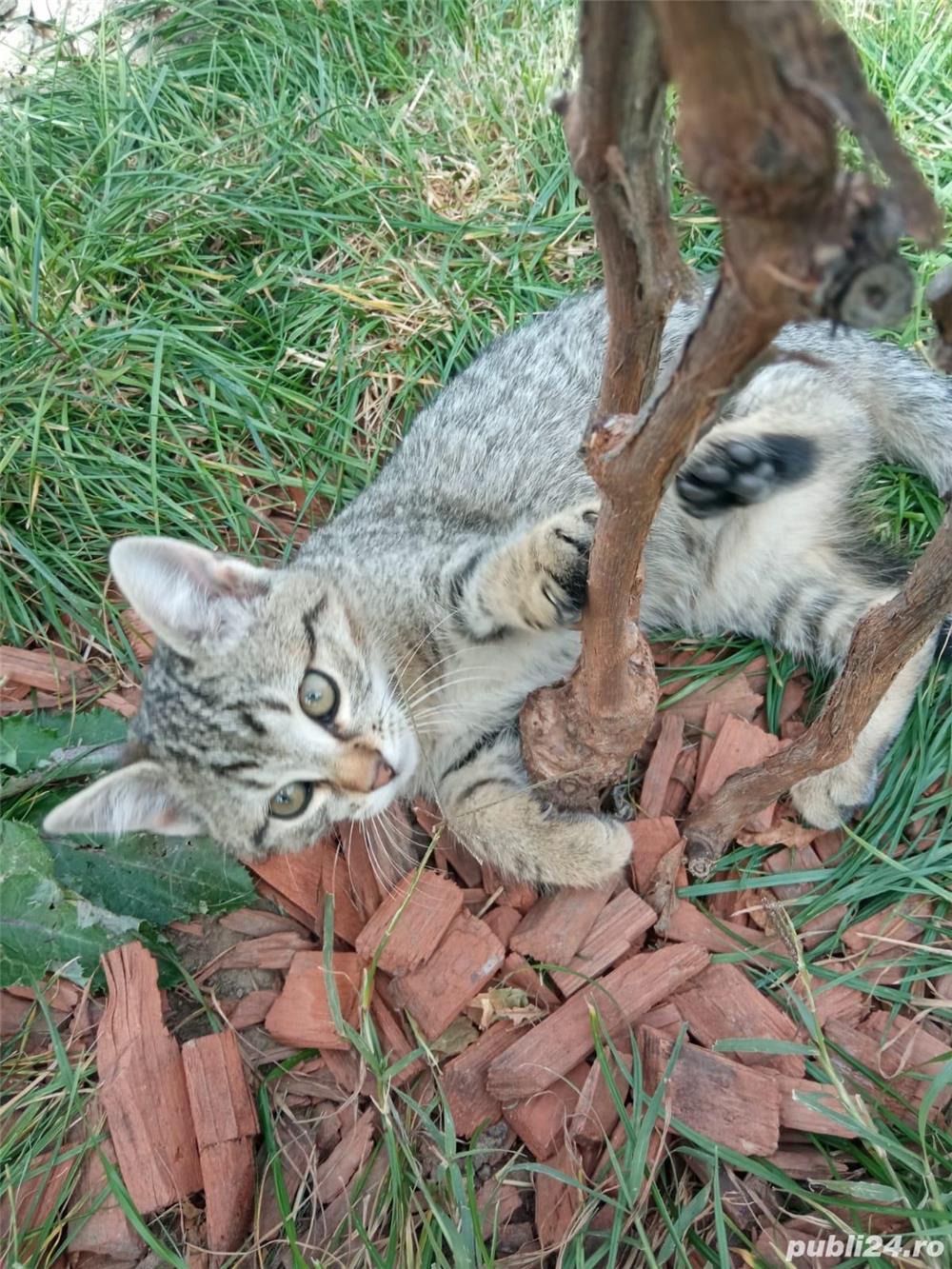 ofer gratis pui de pisica