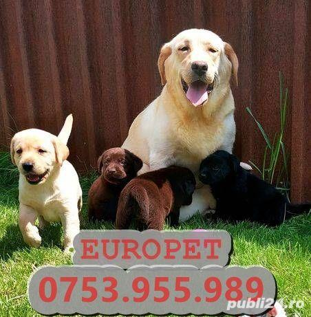 Europet vinde catei Labrador rasa pura| Garantie| Livrare la Baia Mare