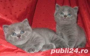 British Shorthair Blue - Livrare in Orice Oras - imagine 6
