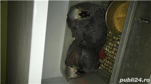 Pui papagal jako legal cu acte CITES - imagine 4