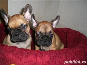 Vand bulldog francez!! - imagine 5