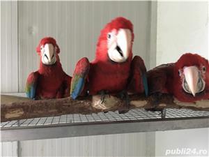 Vand pui papagali ara  - imagine 1