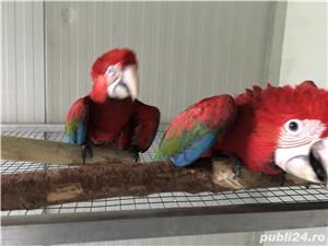 Vand pui papagali ara  - imagine 2