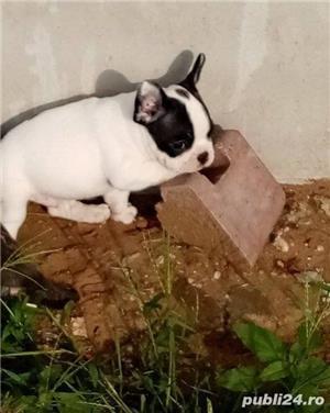 Vand bulldog francez!! - imagine 3