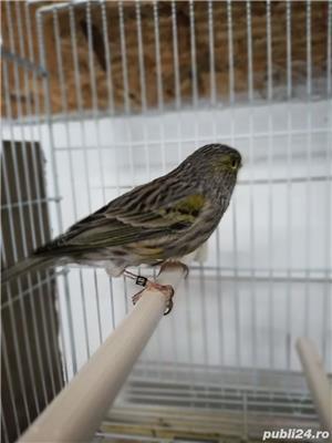 Mancare papagali  - imagine 3