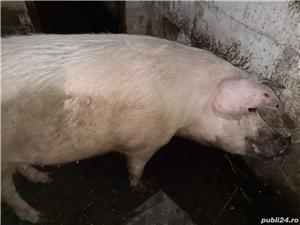 Porci pentru sacrificare foarte buni tineri între 150 - 200-300kg - imagine 2