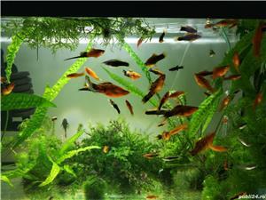 Pești, creveți  acvariu - imagine 2
