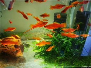 Pești, creveți  acvariu - imagine 4