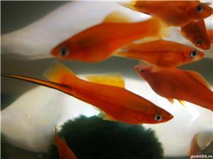 Pești, creveți  acvariu - imagine 8