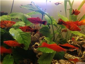 Pești, creveți  acvariu - imagine 9