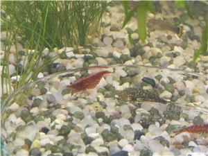 Pești, creveți  acvariu - imagine 10
