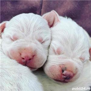 Dog Argentinian / Dogo Argentino - imagine 3