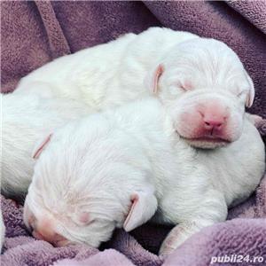 Dog Argentinian / Dogo Argentino - imagine 4