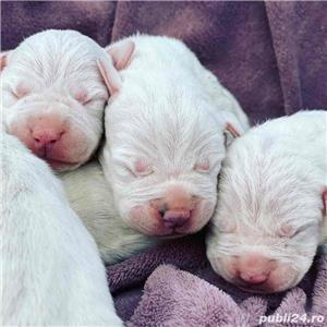 Dog Argentinian / Dogo Argentino - imagine 5