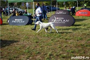 Dog Argentinian / Dogo Argentino - imagine 6