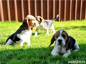 Beagle Pui Tricolori,cu/fara Pedigree,Canisă!!! - imagine 3