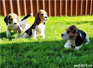 Beagle Pui Tricolori,cu/fara Pedigree,Canisă!!! - imagine 4
