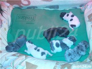 bulldog francez blue Monta - imagine 2