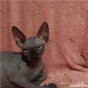 Pisică Sphynx cu pedigree - imagine 2