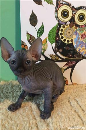 Pisici sfinx   sphynx  fara par, in scop terapeutic - imagine 4