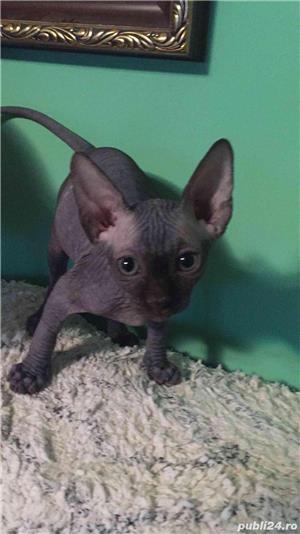 Pisici sfinx   sphynx  fara par, in scop terapeutic - imagine 3
