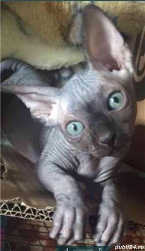 Pisici sfinx   sphynx  fara par, in scop terapeutic - imagine 2