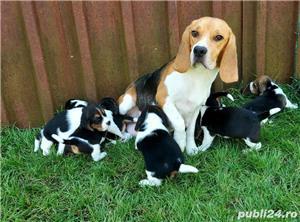 Beagle Pui Tricolori,cu/fara Pedigree,Canisă!!! - imagine 9