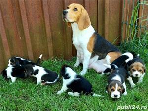 Beagle Pui Tricolori,cu/fara Pedigree,Canisă!!! - imagine 5