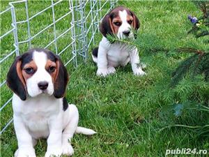 Beagle Pui Tricolori,cu/fara Pedigree,Canisă!!! - imagine 8