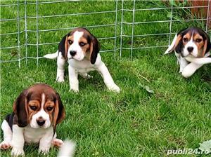 Beagle Pui Tricolori,cu/fara Pedigree,Canisă!!! - imagine 6
