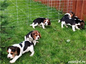 Beagle Pui Tricolori,cu/fara Pedigree,Canisă!!! - imagine 10