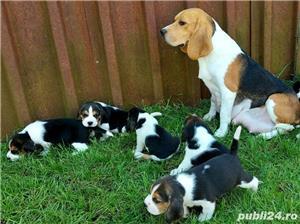 Beagle Pui Tricolori,cu/fara Pedigree,Canisă!!! - imagine 2