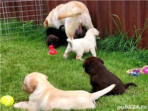 Labrador Retriever,toate culorile,cu/fara Pedigree,Canisa!!! - imagine 2