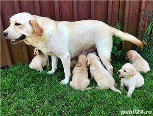 Labrador Retriever,toate culorile,cu/fara Pedigree,Canisa!!! - imagine 5