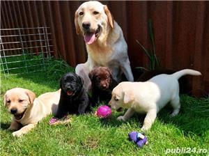 Labrador Retriever,toate culorile,cu/fara Pedigree,Canisa!!! - imagine 1