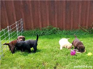 Labrador Retriever,toate culorile,cu/fara Pedigree,Canisa!!! - imagine 4