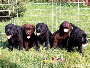 Labrador Retriever,toate culorile,cu/fara Pedigree,Canisa!!! - imagine 8