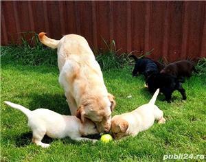 Labrador Retriever,toate culorile,cu/fara Pedigree,Canisa!!! - imagine 6