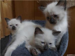 Vand pui pisica rasa balineza - imagine 4