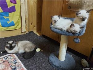 Vand pui pisica rasa balineza - imagine 2