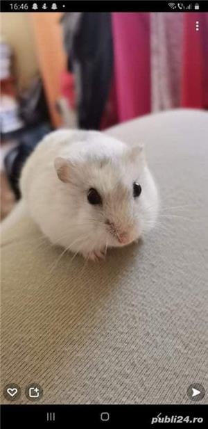 Donez hamsteri !!! 2 albi si 1 gri. - imagine 1